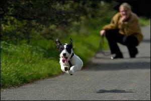 Dog runs away, loose leash walking, dog training