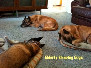 old dogs, elderly dogs, Belgian Malinois