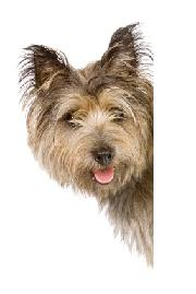 Terrier, small dog, dog breed personalities, dog breed characteristics