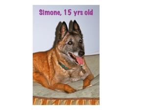 Belgian Malinois, old dog, elderly dog