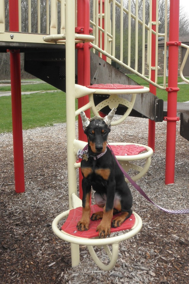 Doberman puppy doing sit stay place command