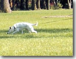White German Shepherd, dog tracking, AKC tracking