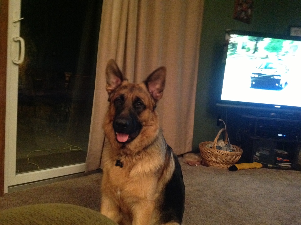 German Shepherd, dog rescue, dog adoption, dog