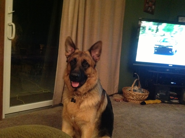 German Shepherd, dog rescue, dog adoption, dog