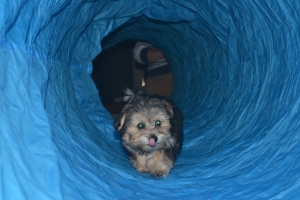 Rudy learning to go through a tunnel.